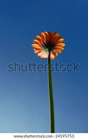 gerbera daisy from below under blue sky in summer - stock photo