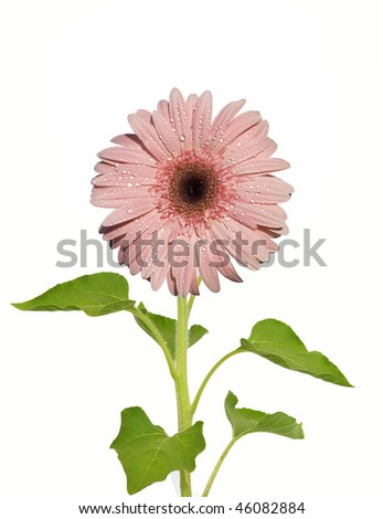 Gerbera Daisy - on white - stock photo