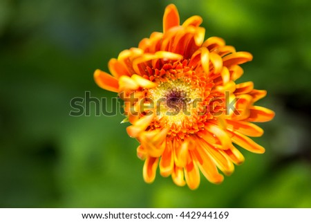 Gerbera Daisy.  Sharp, shallow focus on the central disc, anthers, and stigma of this beautiful orange Gerbera Daisy create great depth in this shot.  The soft petals want to reach out and hug you! - stock photo