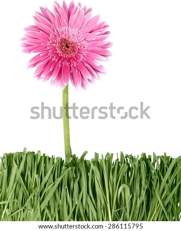 Gerbera Daisy, Single Flower, Flower.