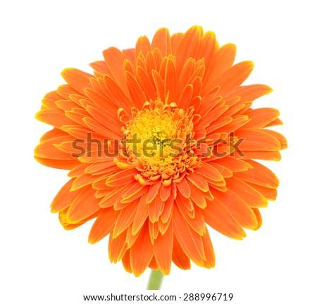 Gerbera. Deep focus. No dust. No pollen. More flower head in my portfolio. - stock photo