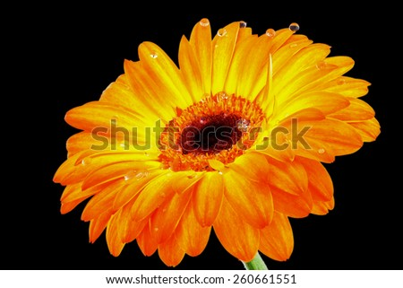 Gerbera flower closeup on a dark background with dew drops - stock photo