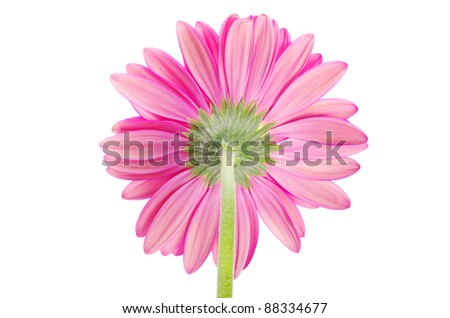 gerbera flower closeup on white background