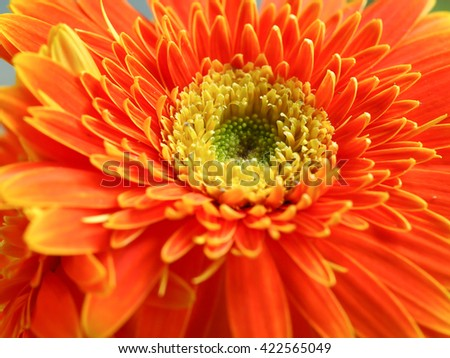 Gerbera flower for background or wallpaper.