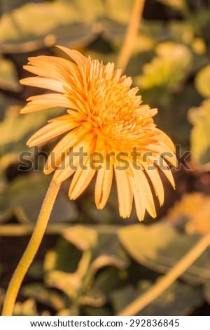 Gerbera flower in the garden, Thailand. - stock photo