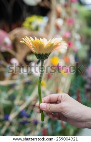 Gerbera flower in the hand - stock photo
