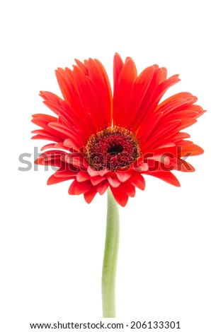 Gerbera flower isolated on white