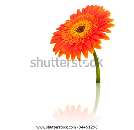 Gerbera flower isolated on white - stock photo