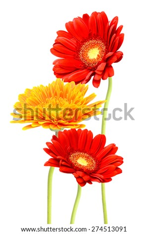 Gerbera flower, Isolated on white background - stock photo
