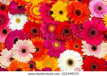 Gerbera flower rainbow background - stock photo