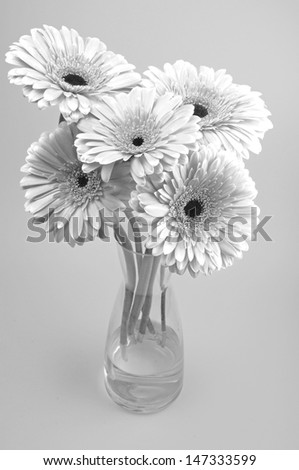 Gerbera Flowers isolated. black and white shot, abstract.  - stock photo