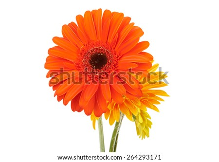 Gerbera flowers isolated on white background - stock photo
