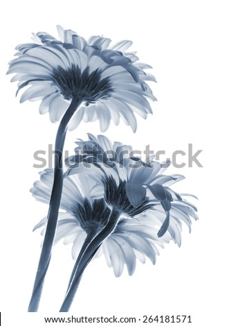 Gerbera flowers isolated on white background, blue toned macro photo with shallow DOF - stock photo