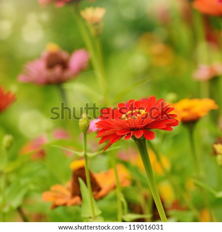 Gerbera flowers over green flowerbed natural background - stock photo