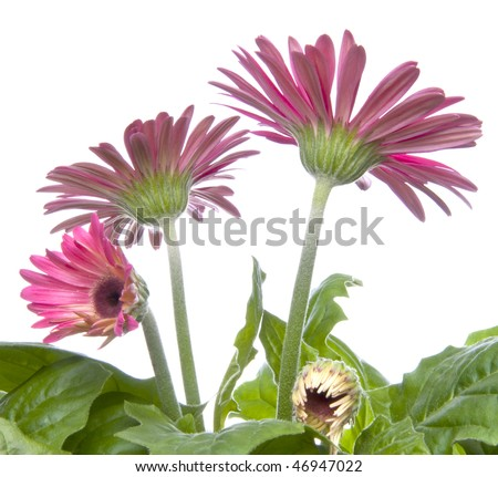 Gerbera Gerber daisies at different stages of growth.  Some are open, and some are still in bud form.  A springtime image isolated on white.
