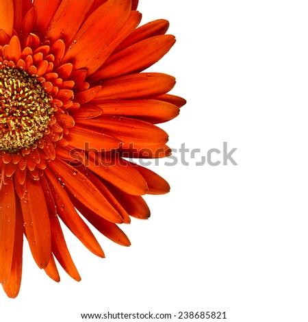 Gerbera head bud flower close up macro shot isolated on white background - stock photo