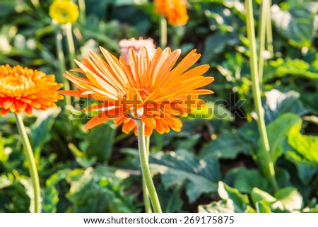 Gerbera in the garden, Thailand.