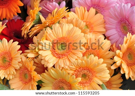 Gerbera  is from the sunflower family. It has many colors  like white, yellow, orange, red, pink. It is also important commercially and it is top five after rose, carnation, chrysanthemum, and tulip .