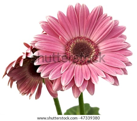 gerbera isolated on white - stock photo