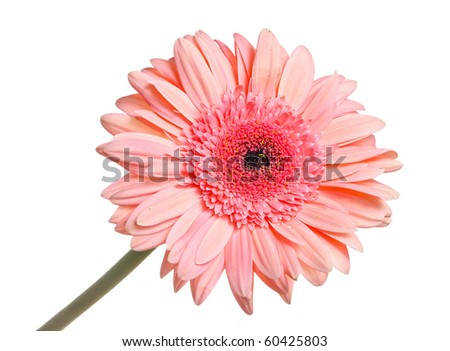 Gerbera isolated on white background - stock photo