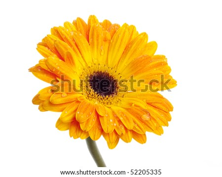 Gerbera on white background