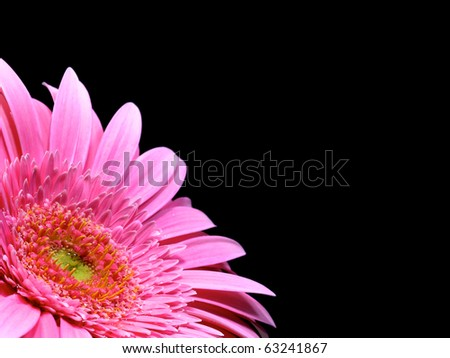 gerbera with small water drops isolated on black - stock photo