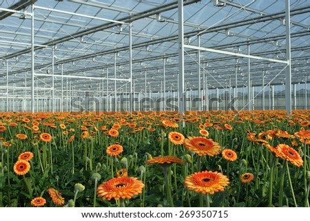 Gerberas grow in a modern Dutch greenhouse - stock photo