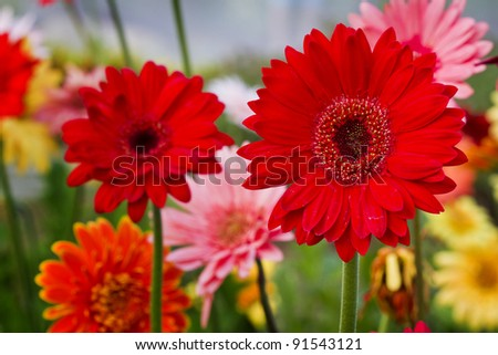 GERBERAS in garden - stock photo