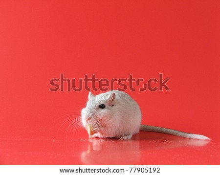 Gerbil has a Cereal Snack and Makes a Mess! Includes copy space - stock photo