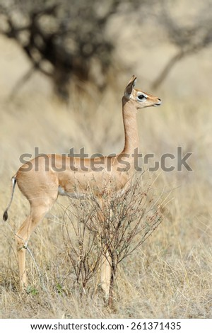 Gerenuk in Samburu National Park in Northern Kenya - stock photo