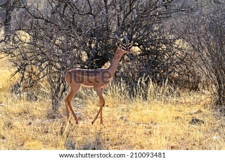Gerenuks gazelle on the African savannah in the wild - stock photo