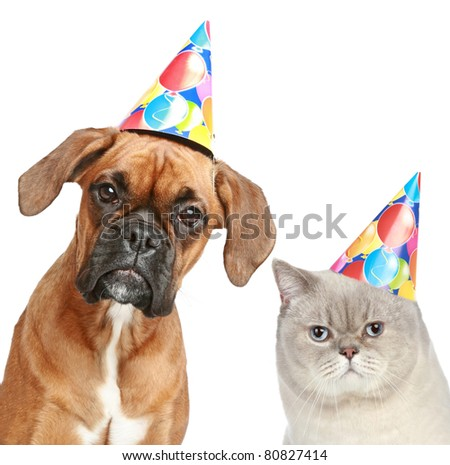 German Boxer and British cat in party cones. Studio shot, isolated on white background - stock photo