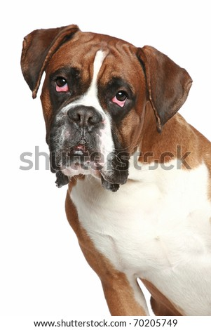 German boxer, close-up portrait on a white background