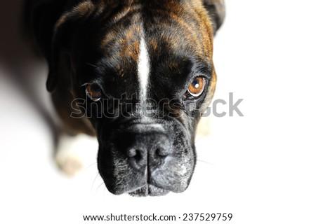 German boxer dog - stock photo