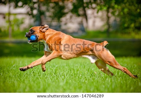 german boxer dog playing outdoors with a toy - stock photo