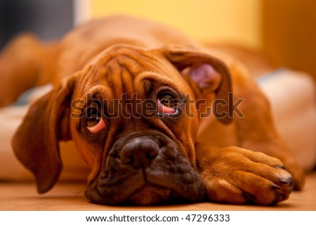 German Boxer - sad dog - stock photo