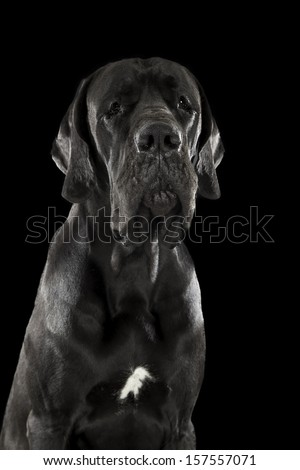 German dog breed dog on black background - stock photo