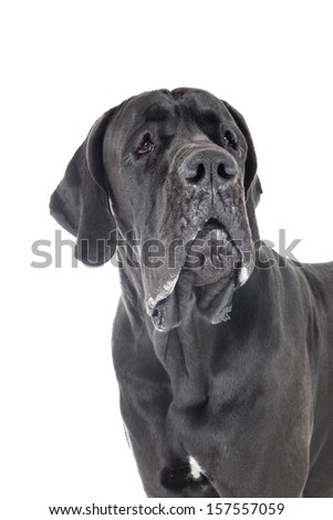 German dog on a white background in studio