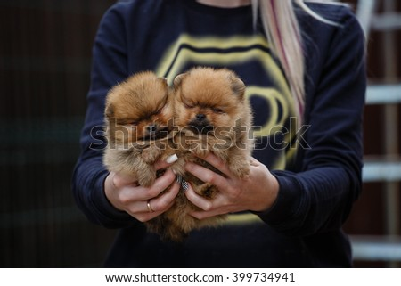 German miniature spitz puppy. cute pet on nature. puppy in the hands of women