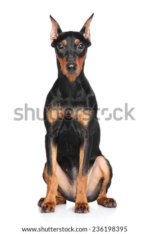 German pinscher sitts on a white background