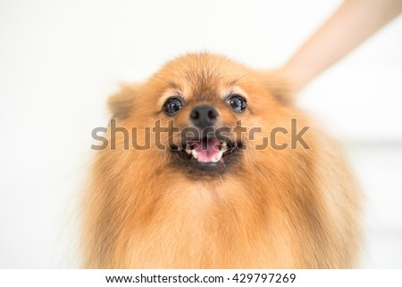 German Pomeranian Spitz dog - stock photo