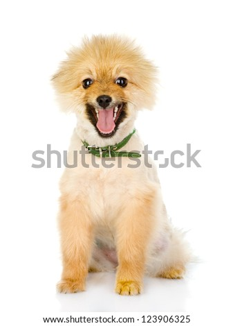 German (Pomeranian) Spitz dog. isolated on white background - stock photo