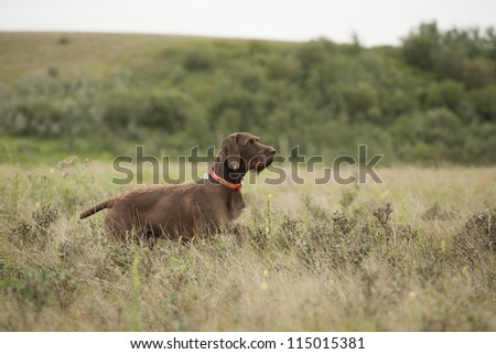 German pudelpointer attentive in grassland