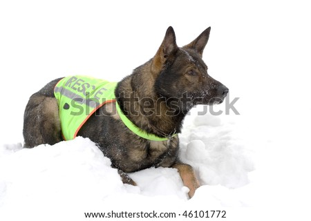 german sheepdog from rescue team - stock photo