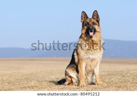 german sheepdog portrait german shepherd Deutscher Schäferhund - stock photo