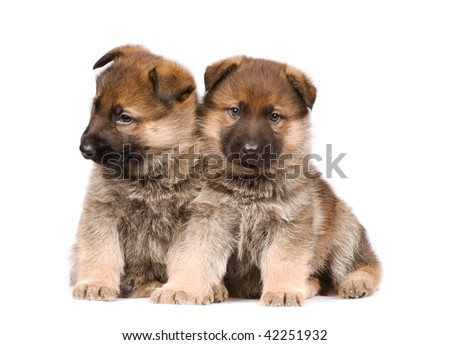 German sheepdogs puppys isolated on white background