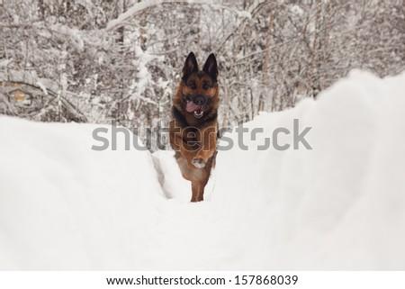 German Shepard - stock photo