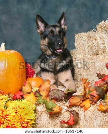 German Shepard Dog in Autumn Setting - stock photo