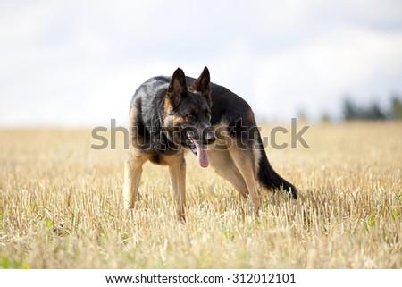 German shepard dog in cornfield - stock photo