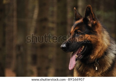 German shepard looking left with coniferous wood in background - stock photo